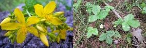 Лекарственные растения, свойства, приготовление настоев и отваров