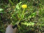 Одуванчик лекарственный, Taraxacum officinale, описание, использование листьев, корней и сока одуванчика для лечения заболеваний