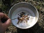 Приготовление кофе из корней одуванчика, кофейный напиток из корней одуванчика, рецепт и особенности приготовления в полевых условиях