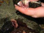Широко распространено ошибочное мнение будто съедобны только задние лапки лягушек