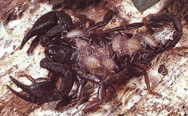 Ядовитые животные, скорпионы, пауки и клещи, симптомы отравления при укусах и первая помощь