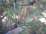 Сосна обыкновенная, сосна лесная, Pinus silvestris, общее описание, особенности использования при лечении заболеваний