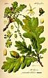 Дуб обыкновенный или черешчатый, описание, использование коры, листьев дуба, галлов и желудей при лечении заболеваний в полевых условиях