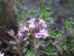 Чабрец обыкновенный, тимьян ползучий, Thymus serpyllum, описание, использовании при лечении заболеваний в полевых условиях