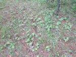 Земляника лесная или обыкновенная, Fragaria vesca, описание и использовании при лечении заболеваний в походных и полевых условиях